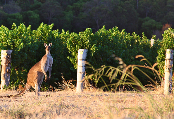 pierro chardonnay vineyard w kangaroo