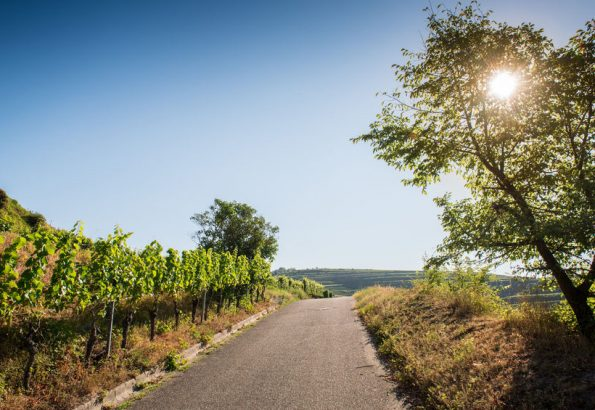 53784782 - beautiful vineyard landscape with blue sky and sunshine in ihringen, kaiserstuhl, germany.