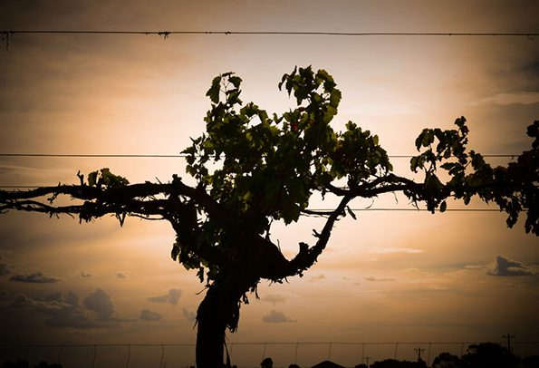 75722142 - winery vineyard and silhouette of vines on dusk featuring rows of vines, grapes or sultanas on wire. filmed mildura, victoria.