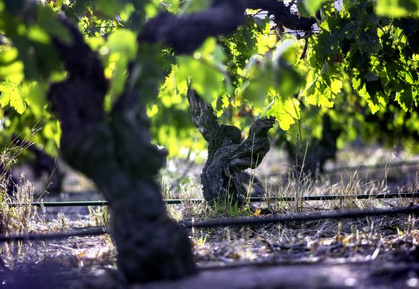 24 acres of 99-year-old vines. What an incredible resource. Essentially unique in Victorian wine terms.