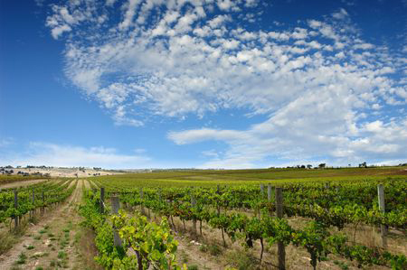 919708 - beautiful vineyard at mclaren vale, south australia